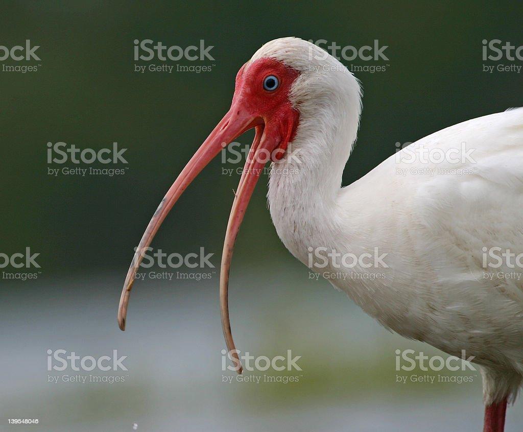 White ibis with open mouth royalty-free stock photo