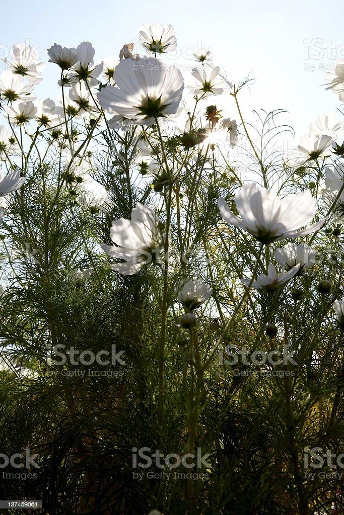 White Icelandic Poppies royalty-free stock photo