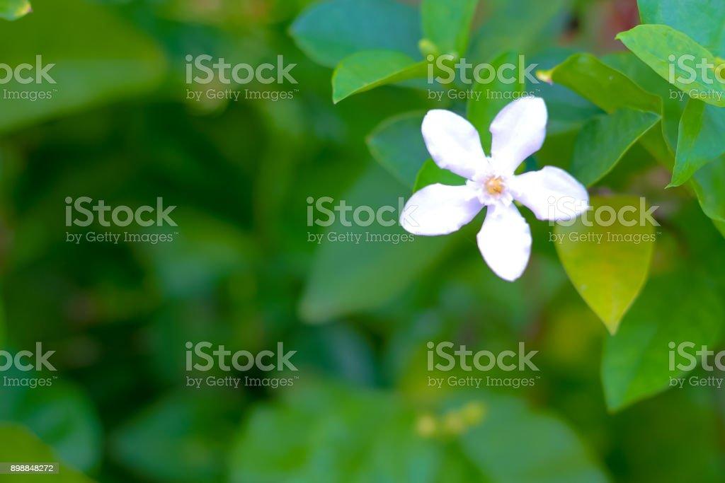 white Inda flower; Wringhtia antidysenterica R.Br,Apocynaceae stock photo