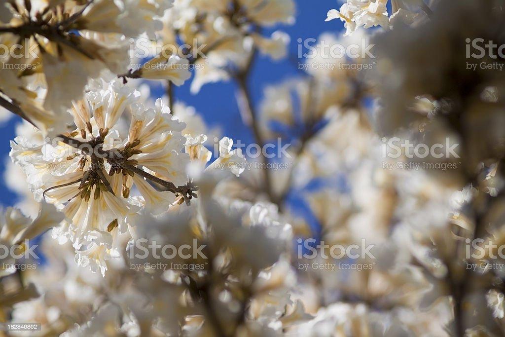 White ipe flower royalty-free stock photo