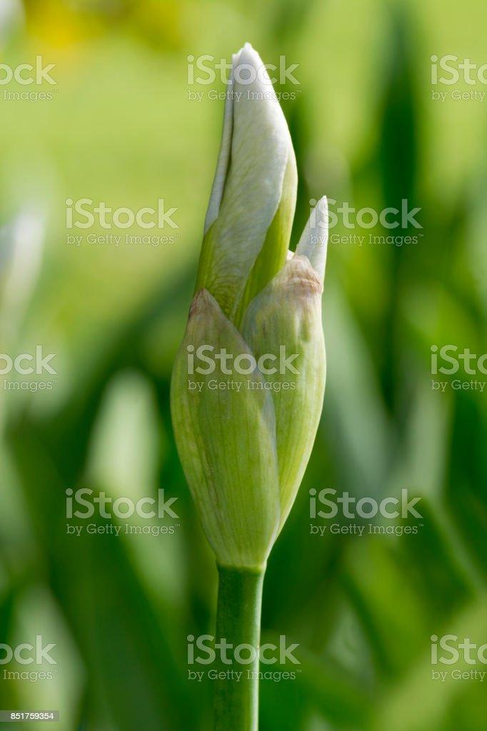 White Iris Bud (Portrait Orientation) stock photo