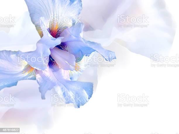 White iris picture id487816822?b=1&k=6&m=487816822&s=612x612&h=xpjibrhw8siw7ea3jjrbkfnzpknfxd oihhnuscojlc=