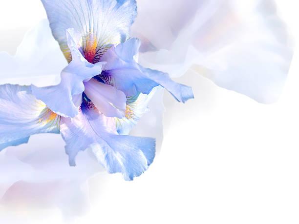 white iris. - iris flower stock photos and pictures