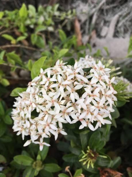 witte ixora coccinea bloem - pauwenkers stockfoto's en -beelden