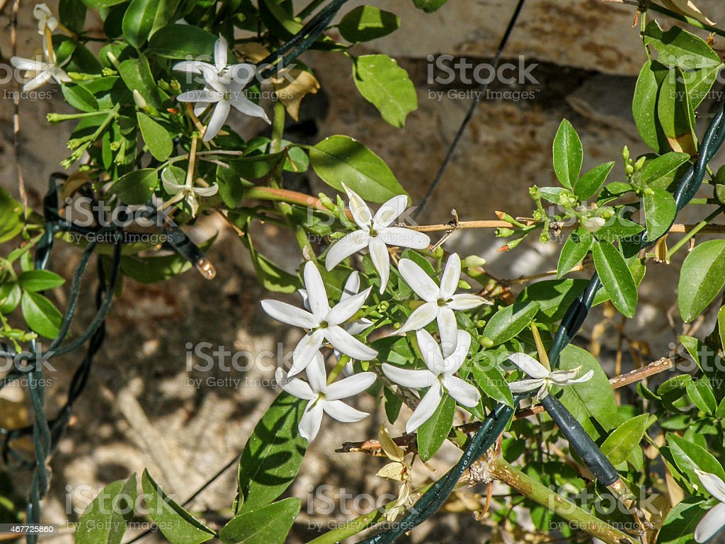 White ixoras flower or west indian jasmine flower on its plant stock white ixoras flower or west indian jasmine flower on its plant royalty free stock photo izmirmasajfo