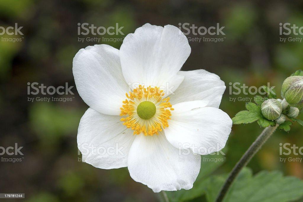 White japanese anemone royalty-free stock photo