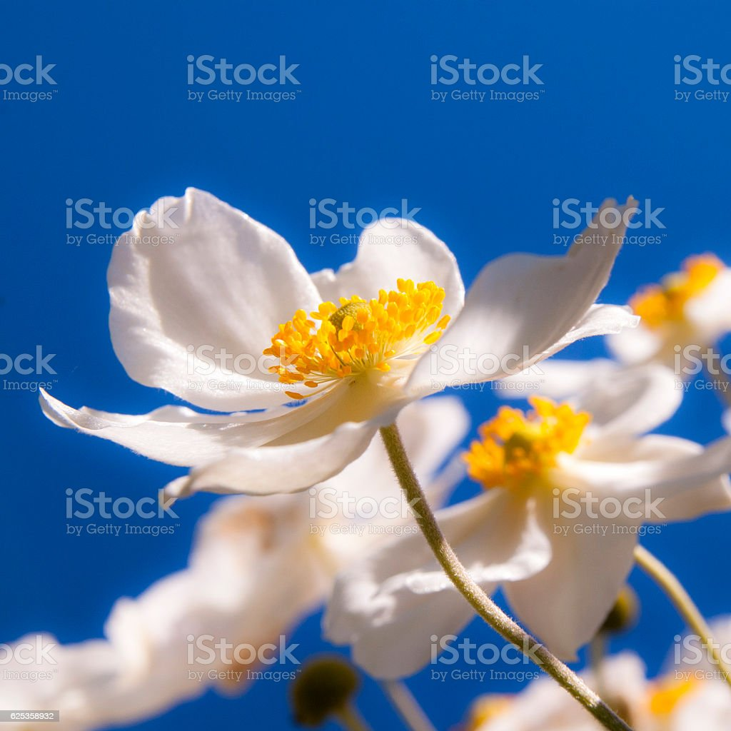 white japanese autumn anemone stock photo