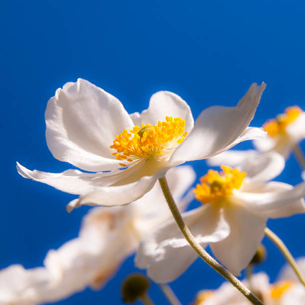 white japanese autumn anemone - stamen stock photos and pictures