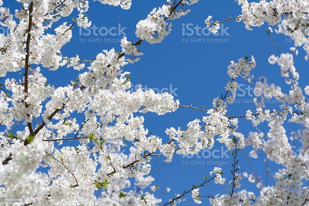 White Japanese Cherry Blossoms Blue Sky Washington, DC royalty-free stock photo