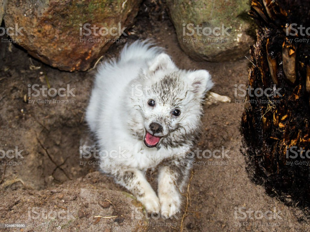 White Japanese Spitz Puppy Covered In Dirt Stock Photo Download Image Now Istock