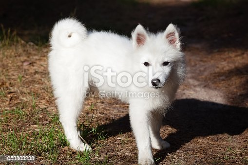 White Japanese Spitz puppy is walking in the forest