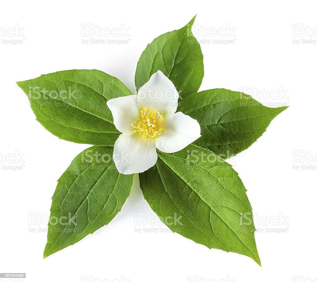White jasmine flower and leaves on white background stock photo white jasmine flower and leaves on white background royalty free stock photo izmirmasajfo