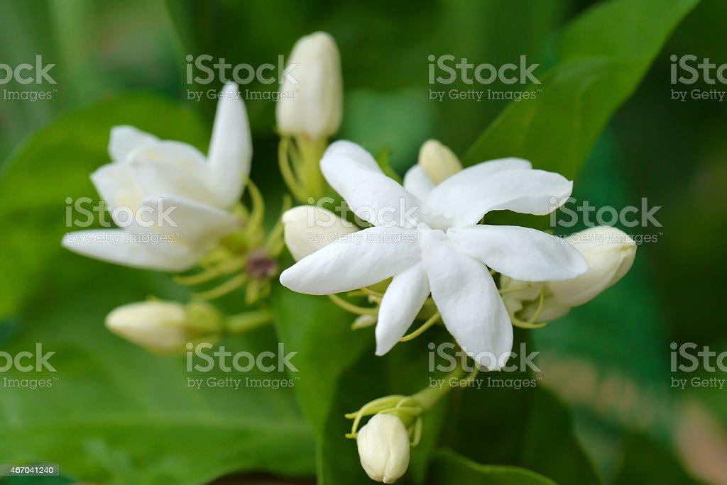 White Jasmine flower. stock photo