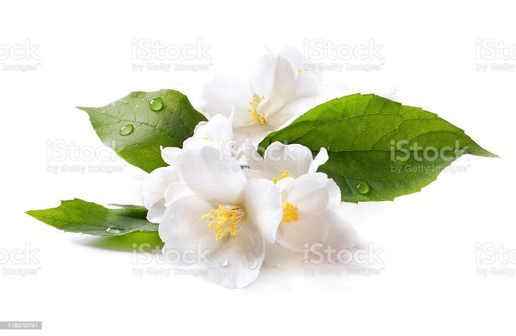 White jasmine flower with dew drops stock photo
