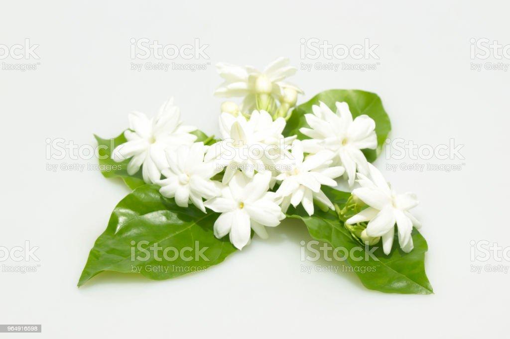White jasmine flowers fresh flowers royalty-free stock photo