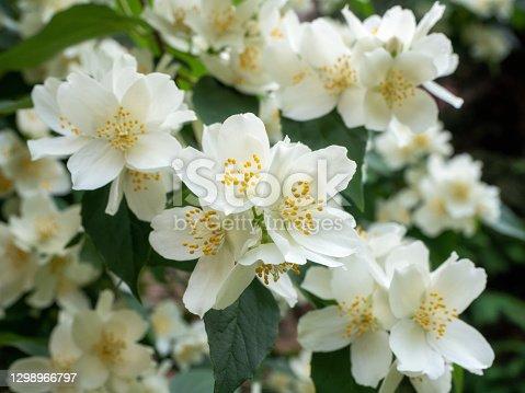 White Jasmine flowers in garden. Spring nature background.