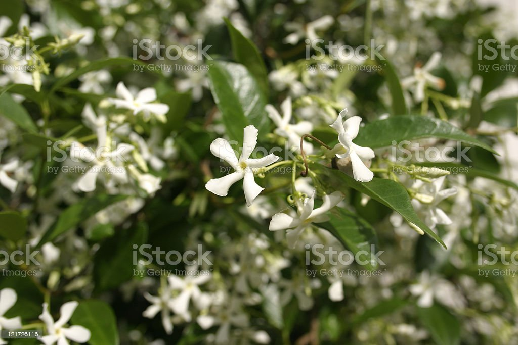 White Jasmine Flowers on Bush stock photo