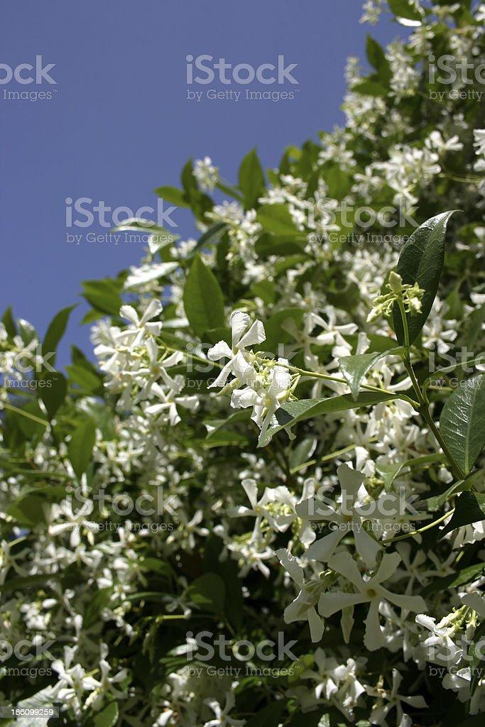 White Jasmine Flowers on Bush stock photo