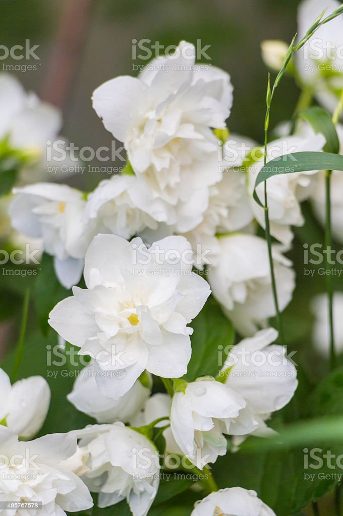 White Jasmine, Green leafes, summer blossom stock photo
