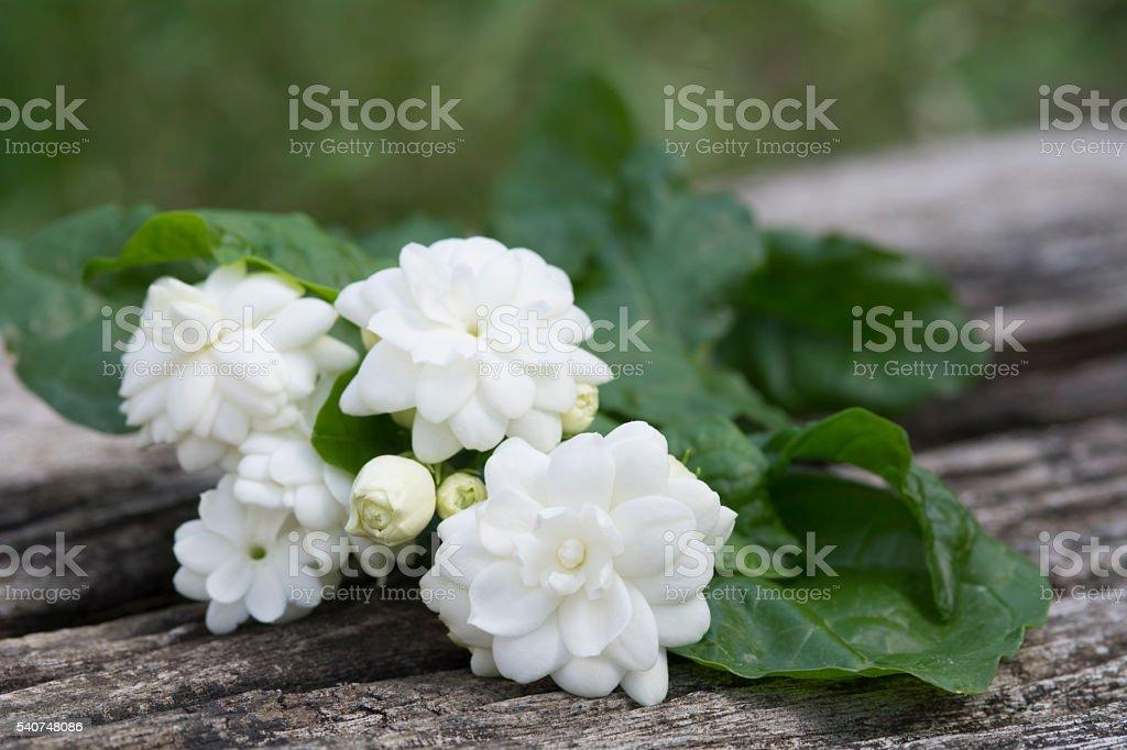 white jasmine stock photo