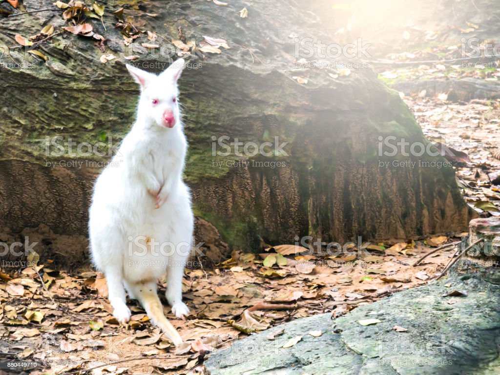 white kangaroo standing on ground in forest stock photo