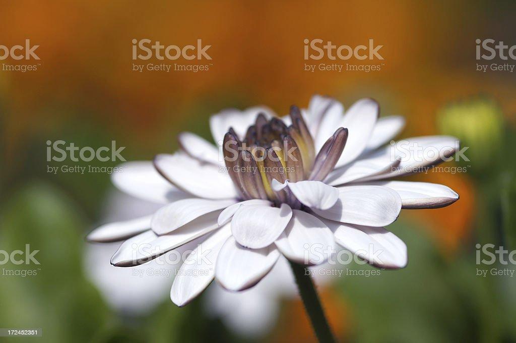 White Kapaster royalty-free stock photo