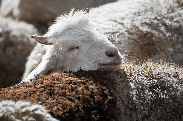 White kashmir goat from Indian highland farm White kashmir (pashmina) goat from Indian highland farm in Ladakh merino sheep stock pictures, royalty-free photos & images