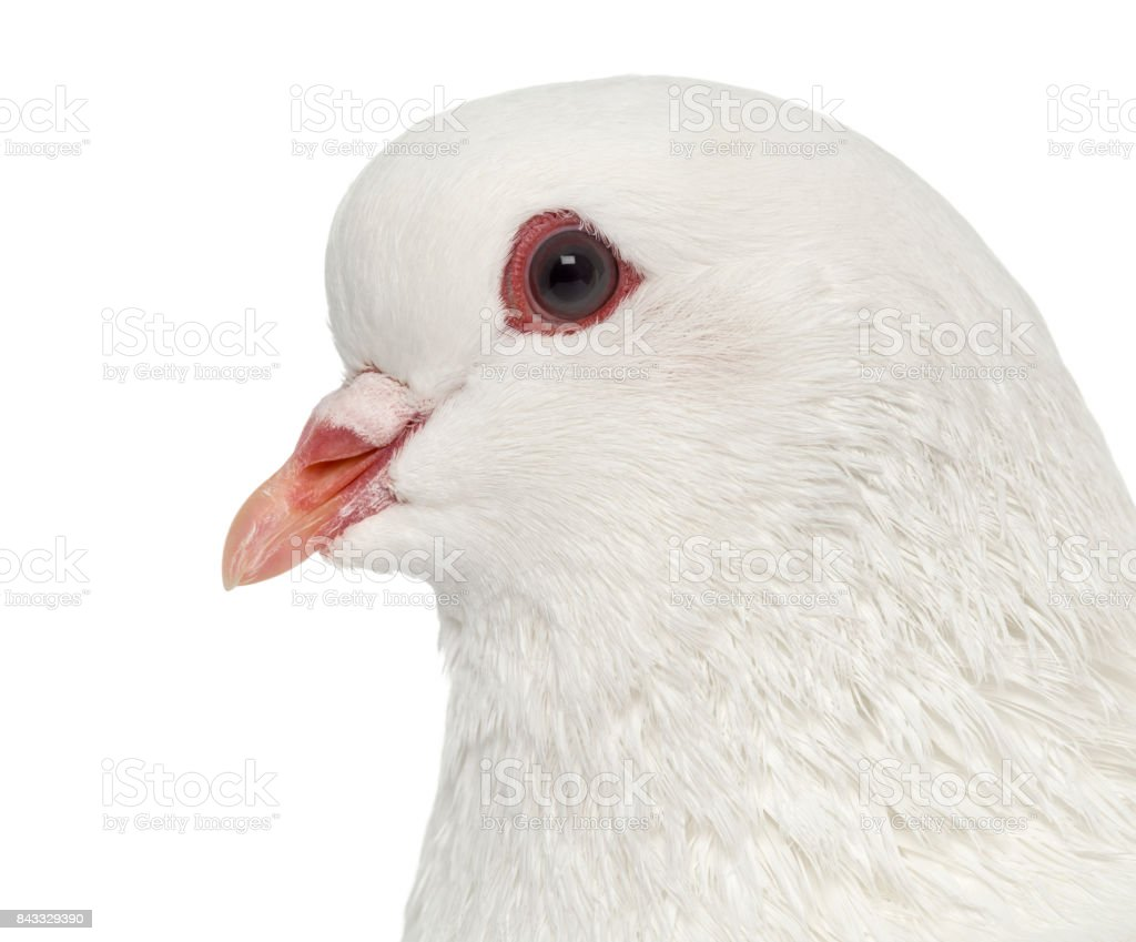 White King pigeon isolated on white stock photo