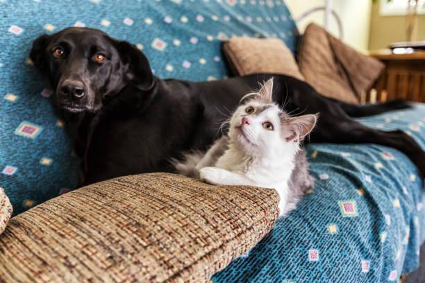White kitten and black labrador retriever dog lying together on sofa picture id876697714?b=1&k=6&m=876697714&s=612x612&w=0&h=wki8abpy 6ybmkeknmkplbohgc eonsphnazbweozb4=