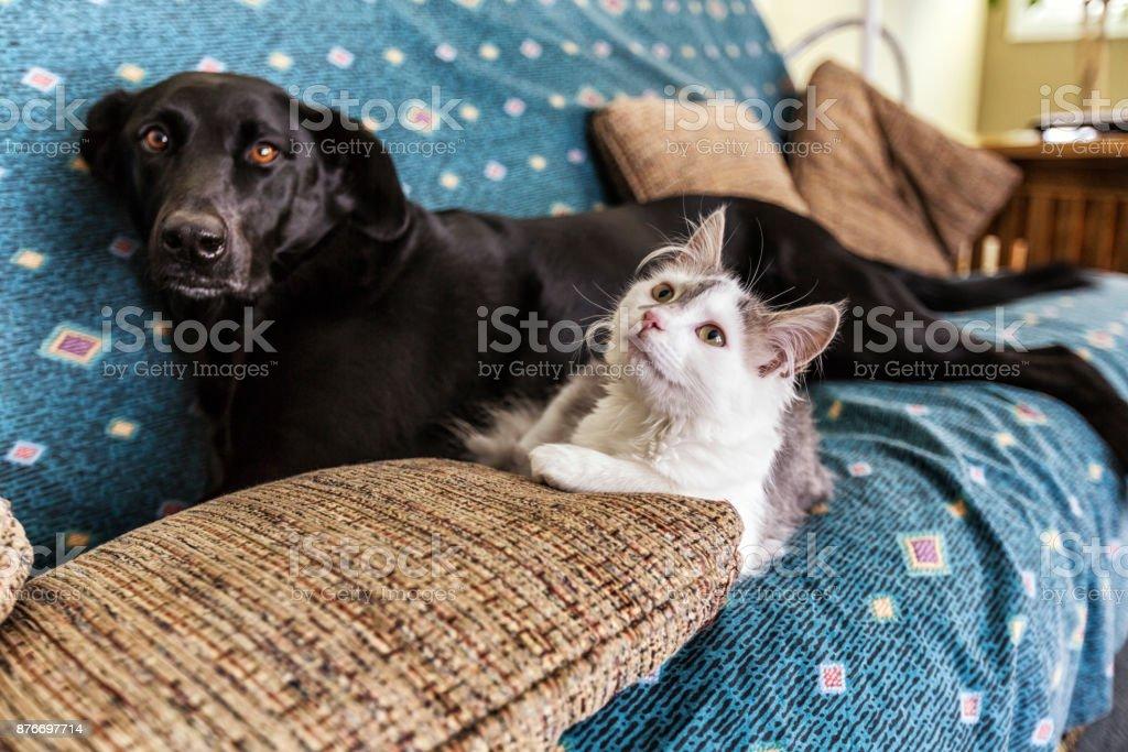 White Kitten and Black Labrador Retriever Dog Lying Together on Sofa stock photo