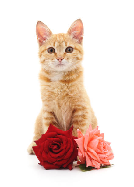 White kitten and roses. White kitten and roses isolated on a white background. kitten cute valentines day domestic cat stock pictures, royalty-free photos & images