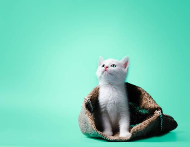 White kitten in a sack on light green background picture id1226243269?b=1&k=6&m=1226243269&s=612x612&w=0&h=712ucxuplezzypp1sd0nte2huqzjvcmrabffvvr 0ge=