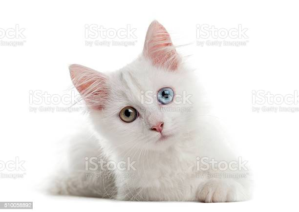 White kitten lying in front of a white background picture id510058892?b=1&k=6&m=510058892&s=612x612&h=1hz5gve5cg7zsgtzxipwyhn1hboansz0h6ypwstjuui=