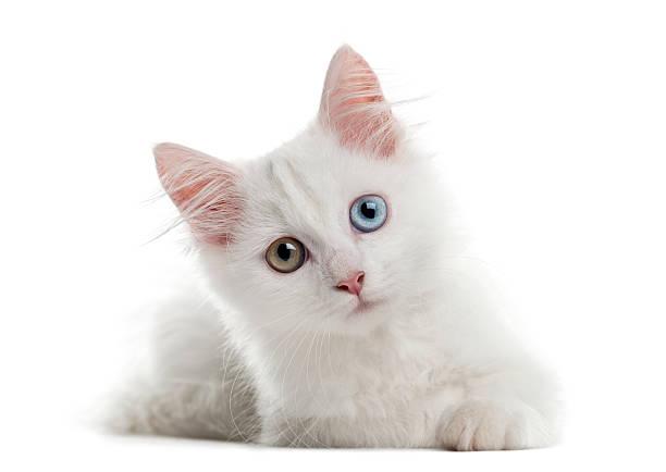 White kitten lying in front of a white background picture id510058892?b=1&k=6&m=510058892&s=612x612&w=0&h=qxhjgy8b9ur fhldoqgbds mvcnou328g5bv9u im1g=