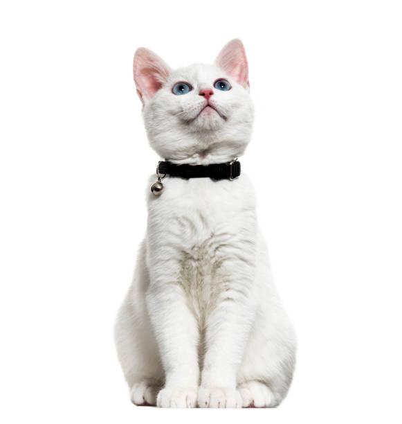 白色小貓混合品種 catwearing 一個鈴鐺衣領和查找, 在白色隔離 - 衣領 個照片及圖片檔