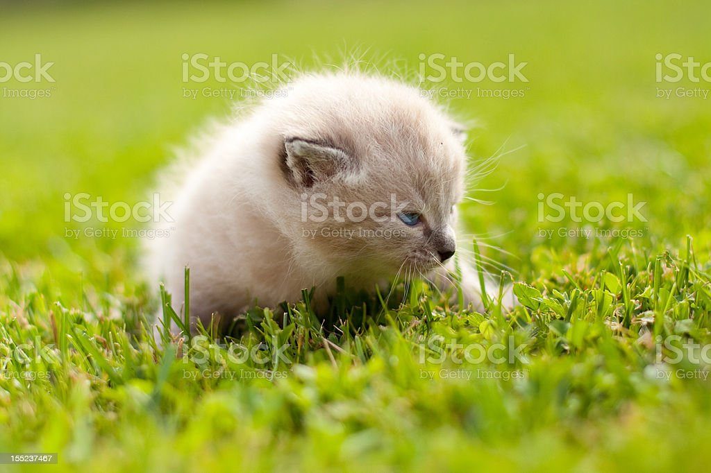 White kitten on a green lawn royalty-free stock photo