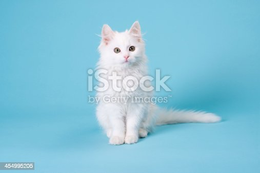 Adorable white kitten shot on a blue background