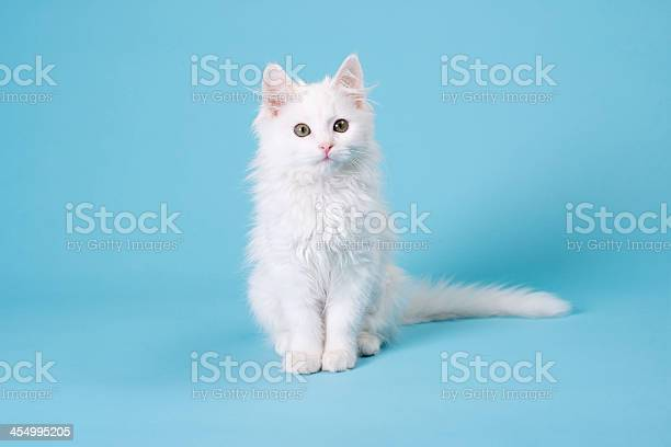 White kitten picture id454995205?b=1&k=6&m=454995205&s=612x612&h=pizixsi5pafixneyqyb5im5arudotn f1udvdrcceri=