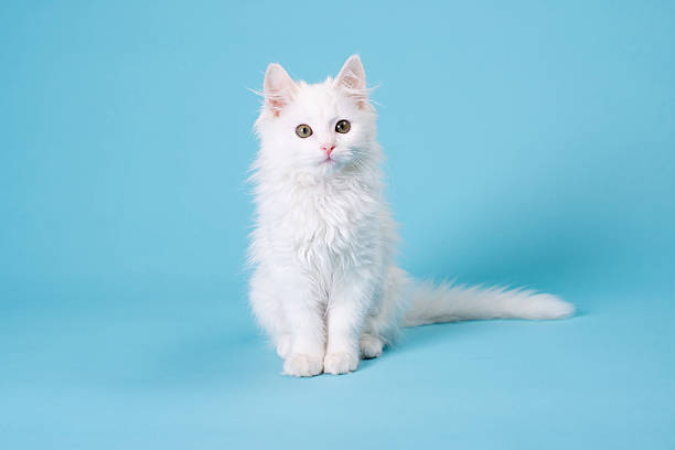 White kitten picture id454995205?b=1&k=6&m=454995205&s=612x612&w=0&h=jvmcggj51f8p3fuo5kwxjgr3mnskfqr1pqbxuncf 7k=