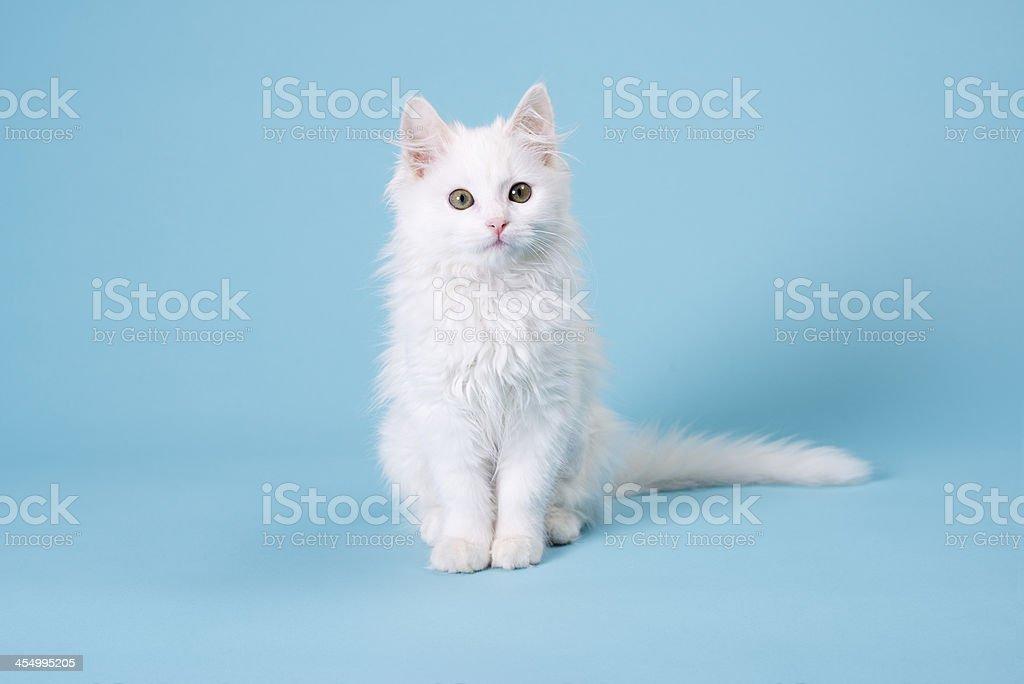 Weiße Kätzchen – Foto