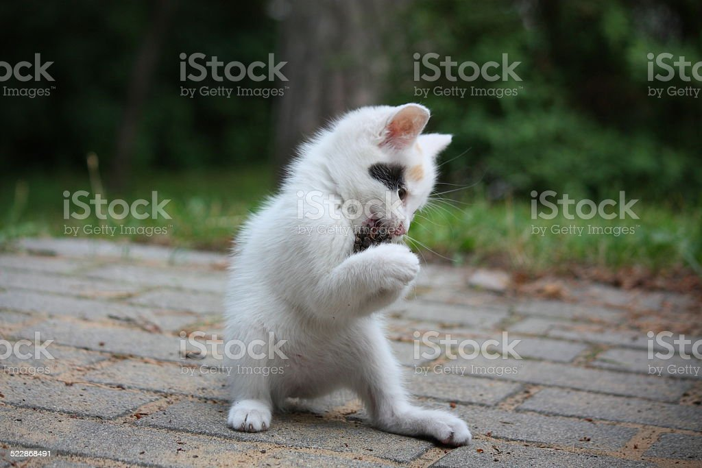 White kitten playing with pine cone stock photo