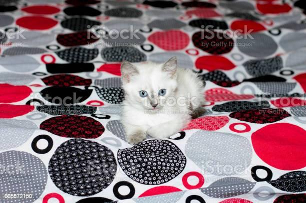 White kitten with blue eyes lying on a bed picture id665872150?b=1&k=6&m=665872150&s=612x612&h=1f5xxfrngdk ddvorvdxw4gann0qw7xwdiivmozfneg=
