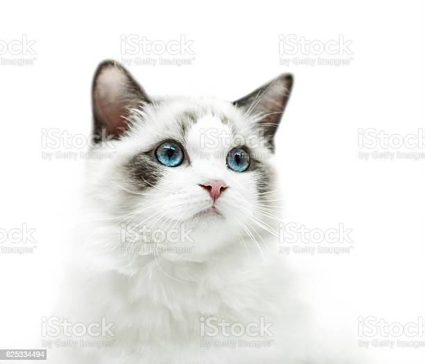 White kitten with blue eyes portrait picture id625334494?b=1&k=6&m=625334494&s=612x612&h=ldh witxynjhv0dpouyvpmrjjsefz8ziuk3udfjy0mi=