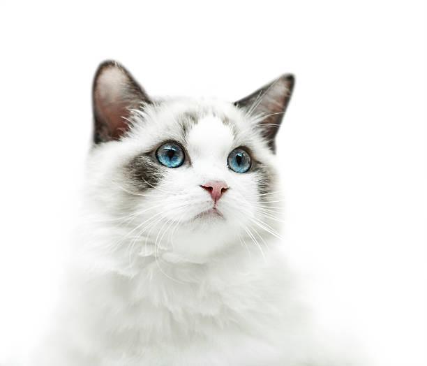 White kitten with blue eyes portrait picture id625334494?b=1&k=6&m=625334494&s=612x612&w=0&h=1asjcj156skc0xsvpurchmsirul r 1vthqaineqkjc=