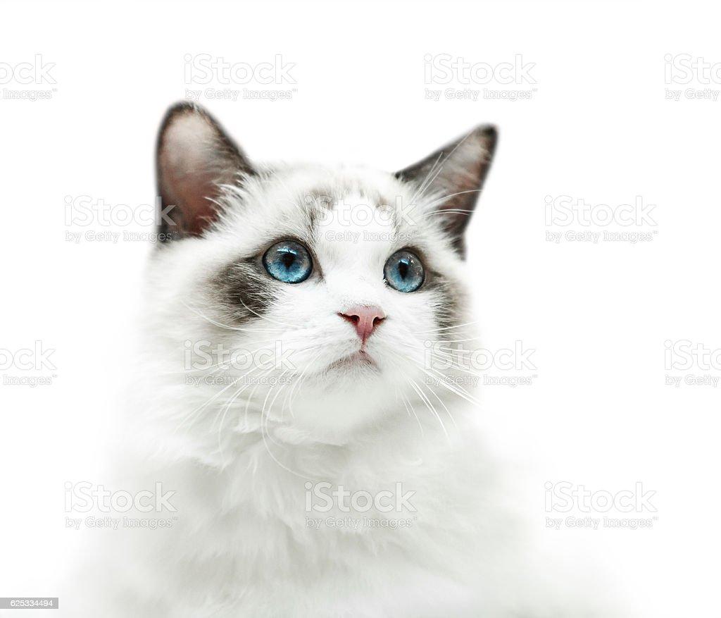White kitten with blue eyes portrait stock photo