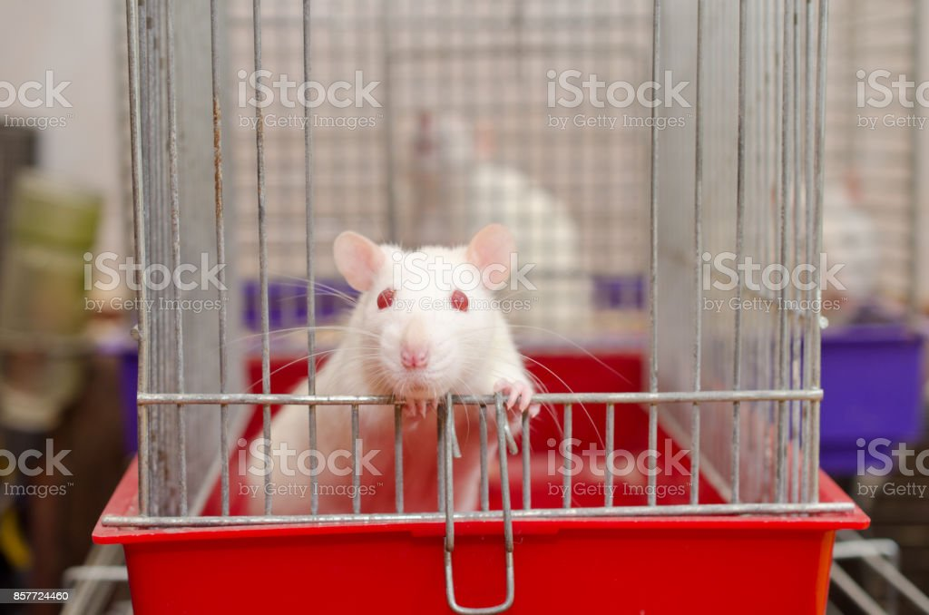 White laboratory rat looking out of a cage in a laboratory stock photo