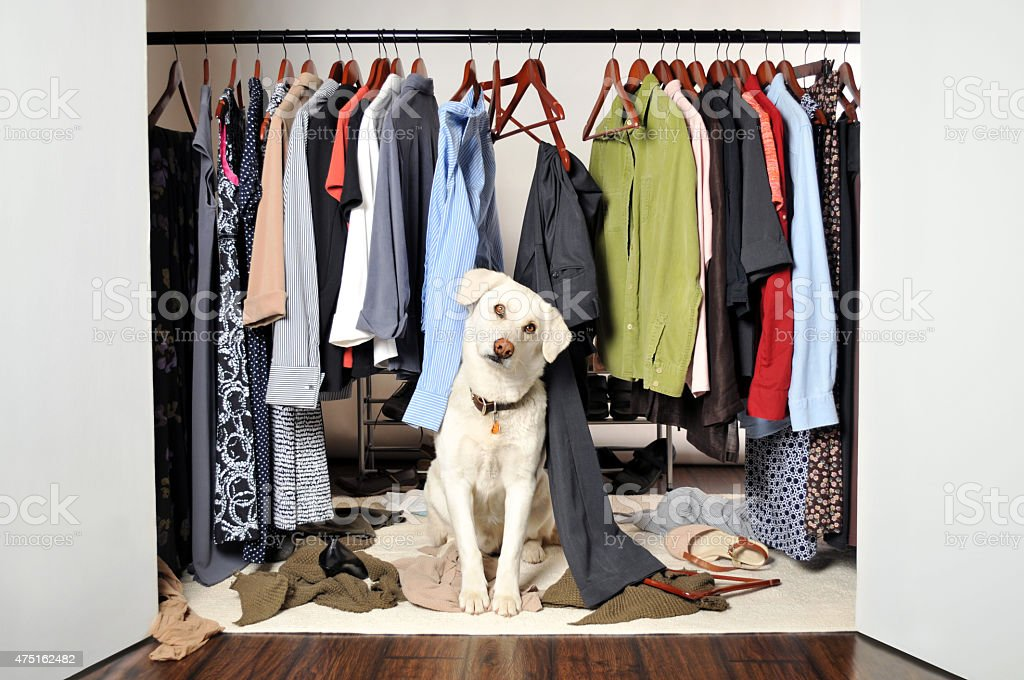 White Labrador Dog Sitting Inside A Closet He Has Destroyed Royalty Free  Stock Photo