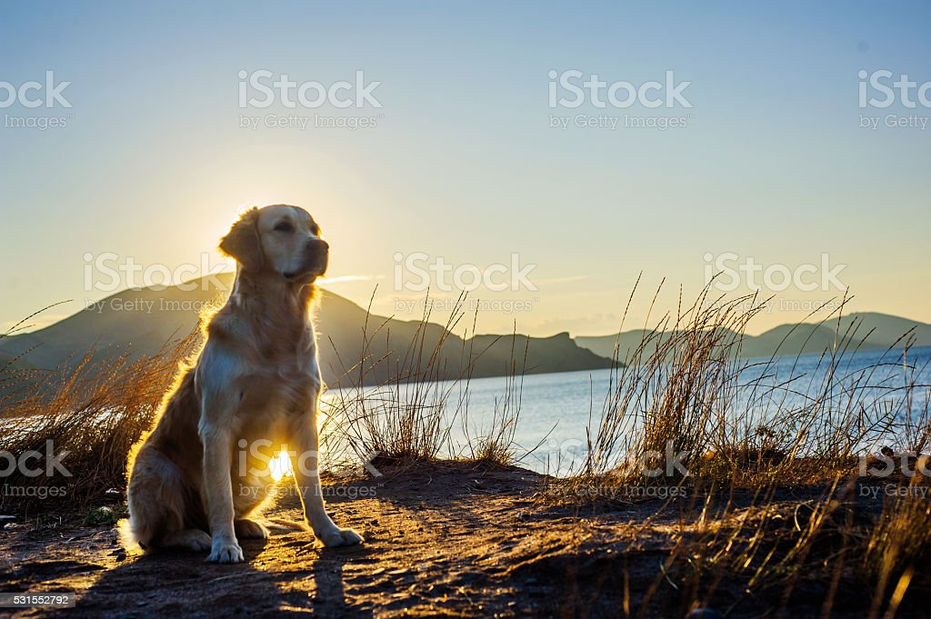 White Labrador royalty-free stock photo