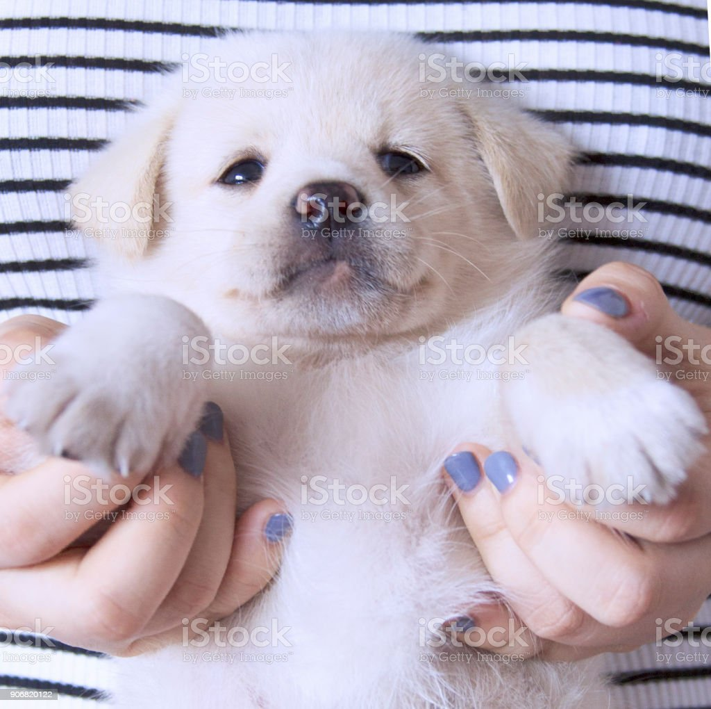 A White Labrador Puppy Stock Photo Download Image Now Istock