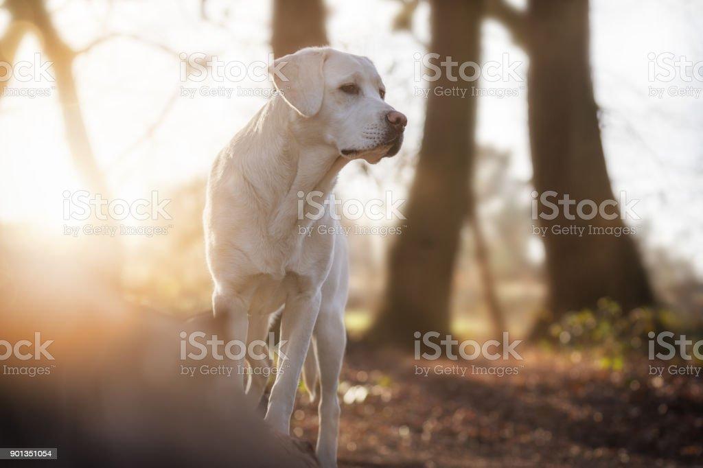 weißen Labrador Retriever Hund im Wald bei Sonnenuntergang – Foto